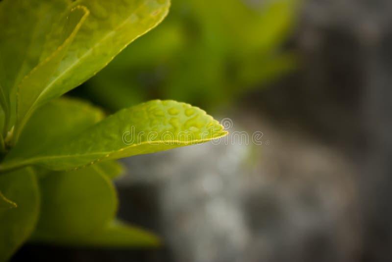 Grünblätter mit Tau auf ihnen stockfoto