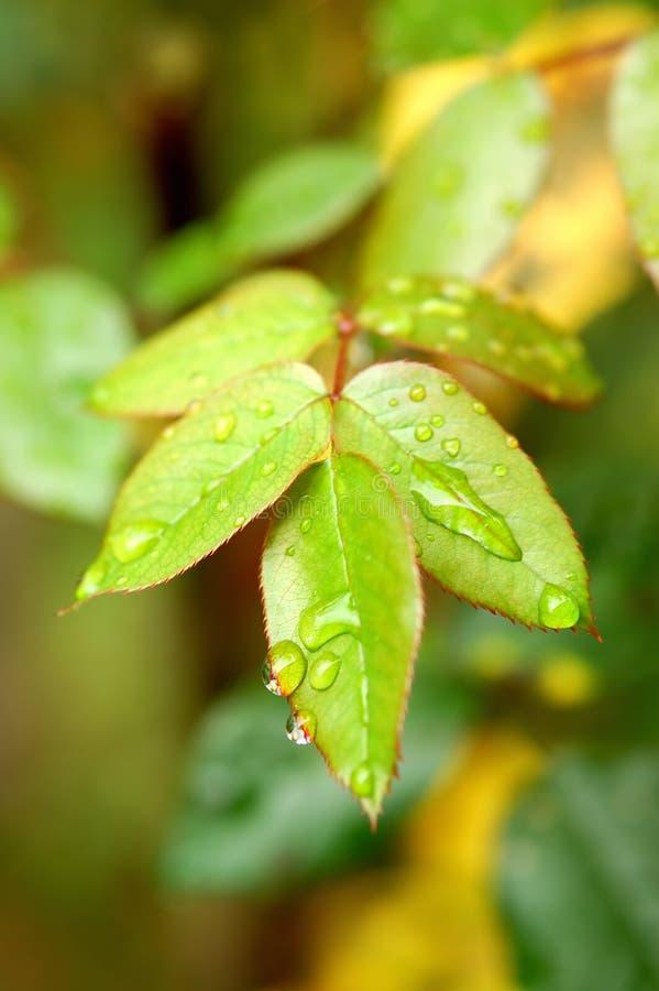 Grünblätter nach dem Regen lizenzfreie stockfotografie