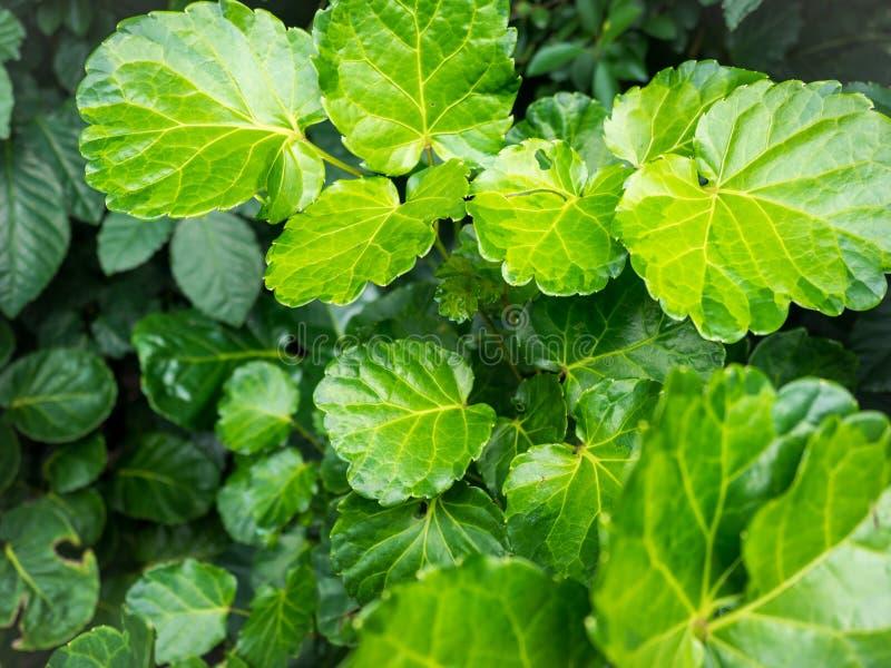 Grünblätter sind der Hintergrund stockfotografie