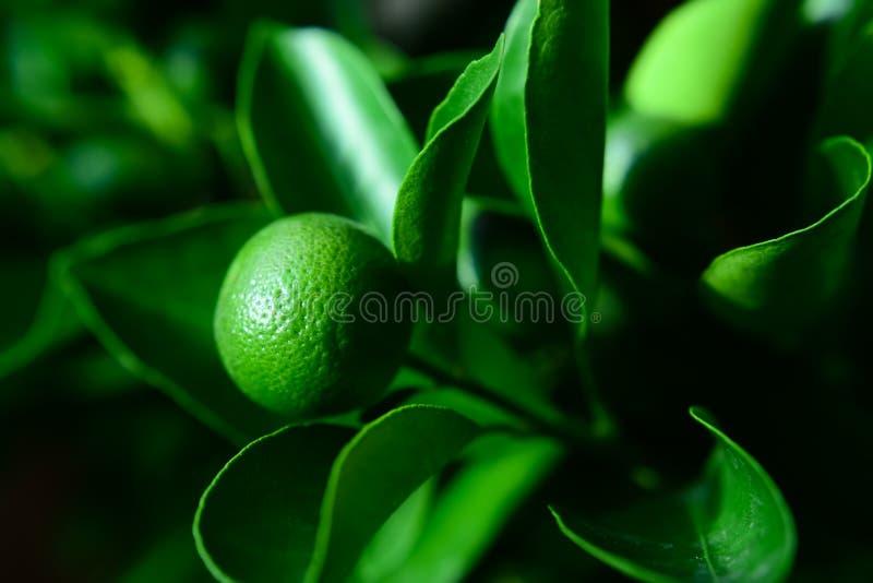 Grünblätter und -orangen stockfotografie