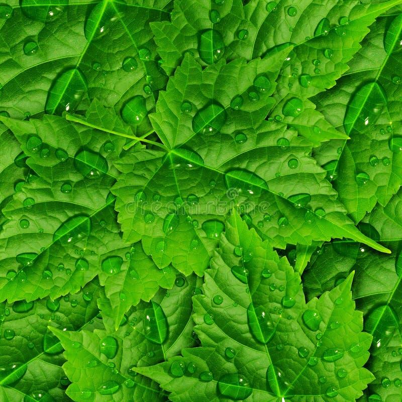 Grünblätter und Tropfen des Taus stockbild