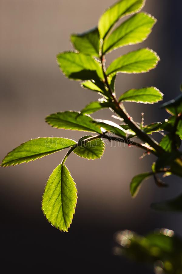 Grünblätter von einem jungen stiegen in die Hintergrundbeleuchtung einer Frühlingssonne g stockfotos