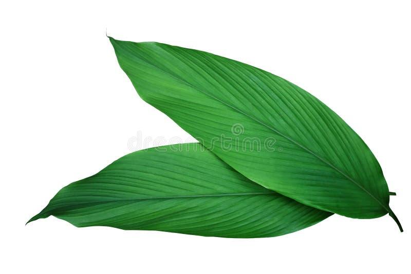 Grünblätter von medizinischem Kräuter Gelbwurz Kurkuma longa Ingwers stockbild