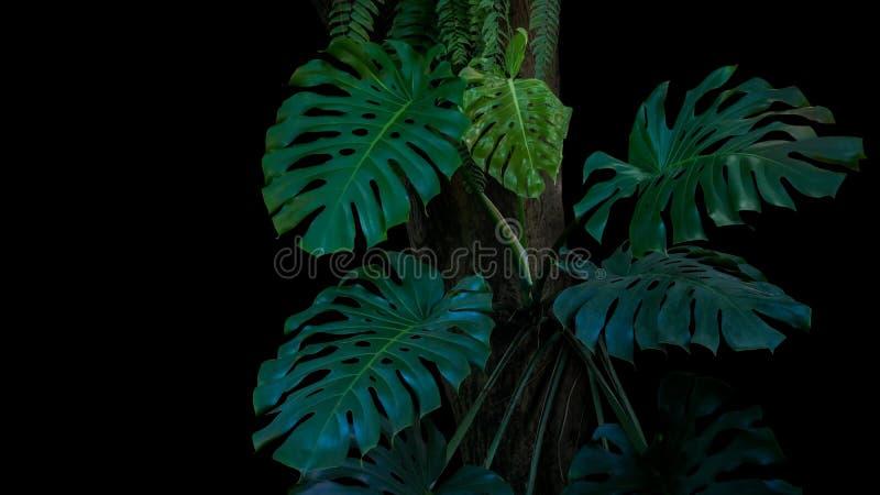 Grünblätter von monstera oder Spalteblatt Philodendron Monstera De lizenzfreies stockbild