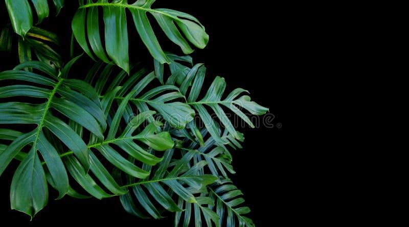 Grünblätter von Monstera pflanzen das Wachsen in wildem, das tropische für stockfotos