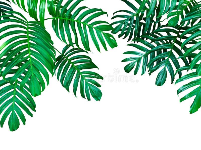 Grünblätter von Monstera-Philodendron die tropische Waldanlage, stockbilder