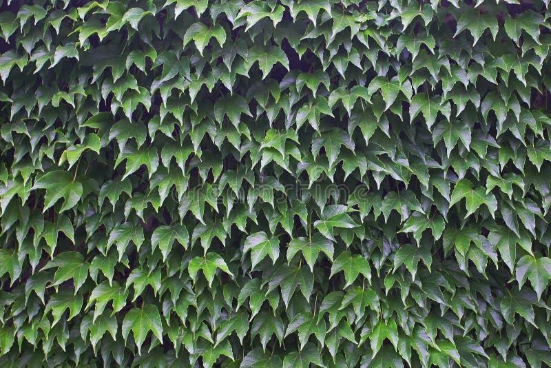 Grünblätter von wilden Trauben auf einer Wand lizenzfreie stockfotos