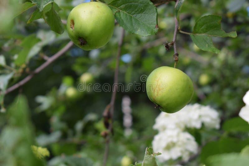 Grüne Äpfel auf den Niederlassungen eines Baums im Sommergarten lizenzfreie stockbilder