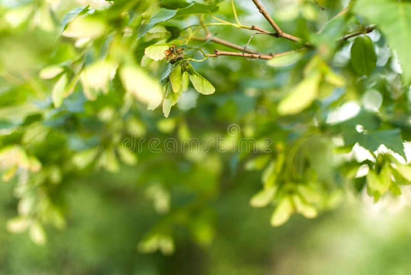 Grüne Ahornbaumlaubblätter unter bewölktem Tag Makroschuß des selektiven Fokus mit flachem DOF stockfotografie