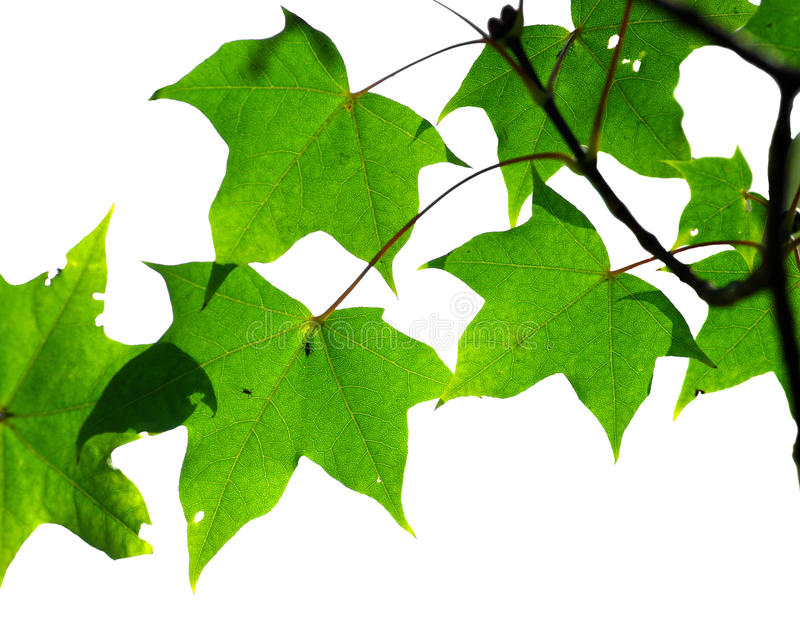 Grüne Ahornblätter lizenzfreies stockbild