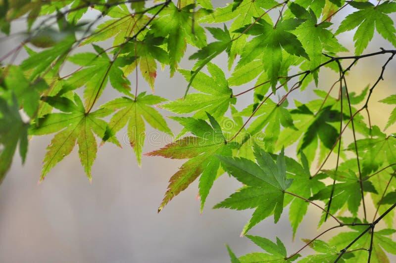 Grüne Ahornblätter in Japan lizenzfreies stockfoto