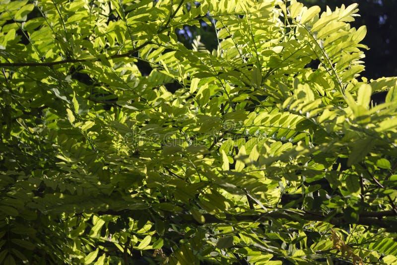 Grüne Akazie verlässt auf dem Hintergrund des Sonnenlichts stockfoto