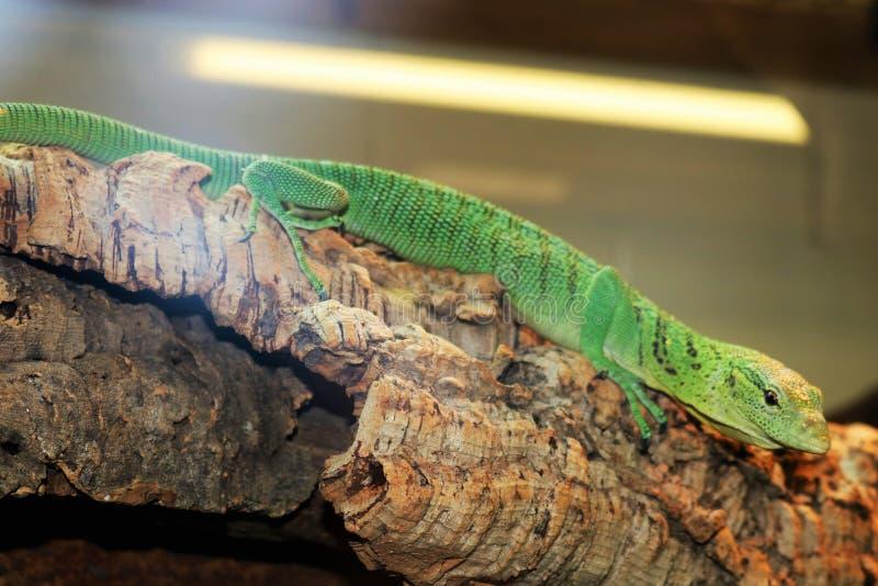 Grüne Anoliseidechse auf Niederlassung an einer Touristenattraktion stockbild