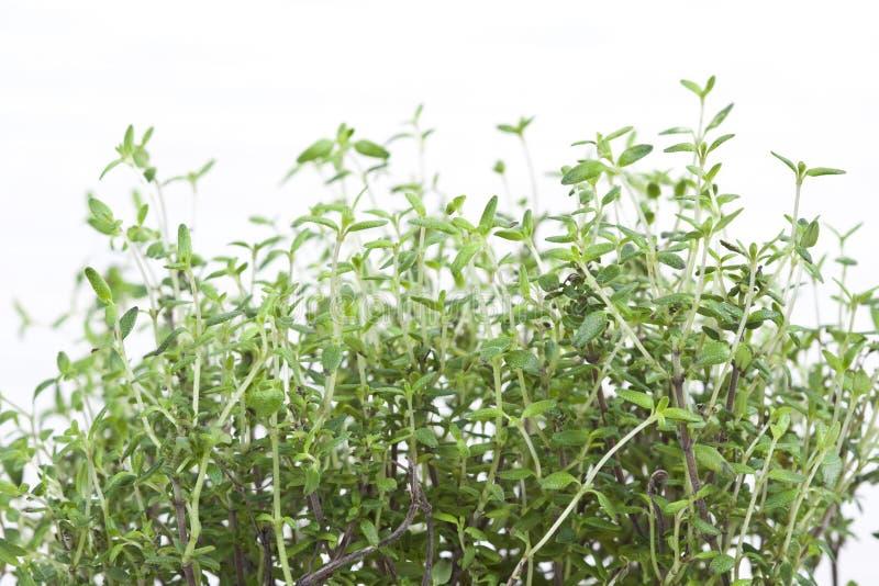 Grüne aromatische Anlage stockfoto