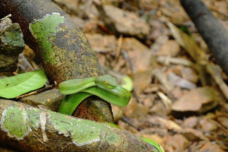 Grüne asiatische Schlangenrolle der Grubenvipern auf hölzernem LOGON-Wald stockbild