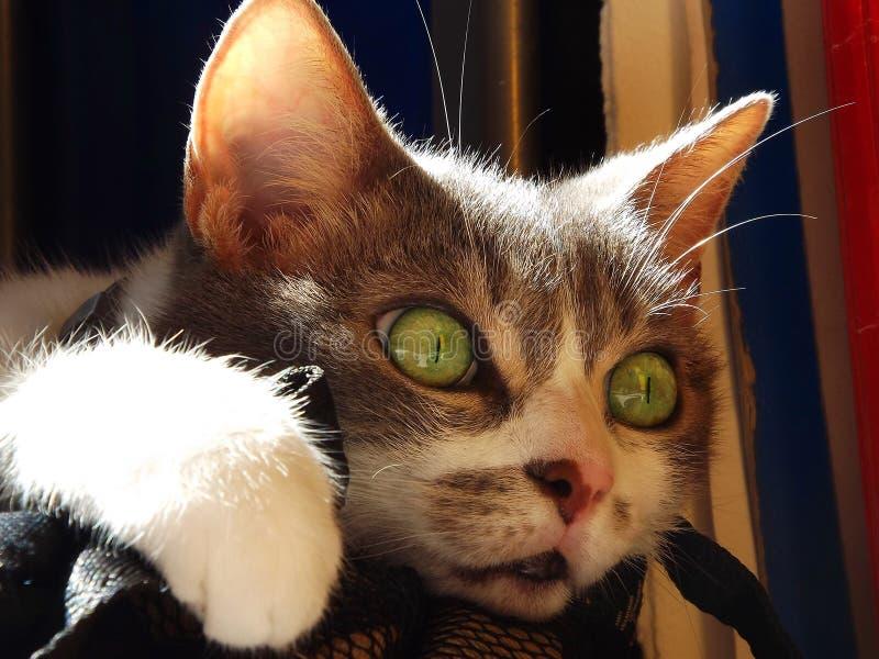 Grüne Augen der Katze lizenzfreie stockfotografie