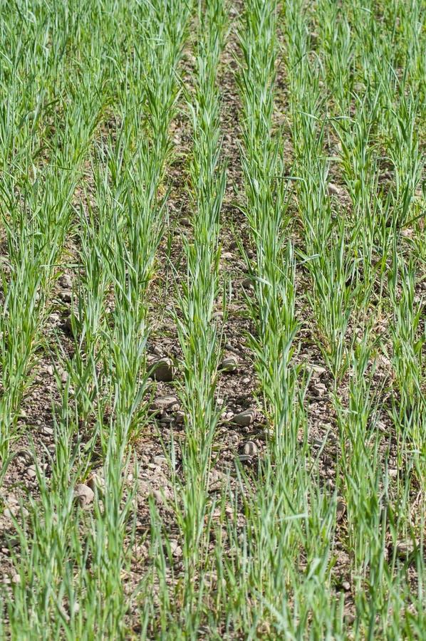 grüne Ausrichtung von Getreide auf einem Gebiet lizenzfreie stockfotografie