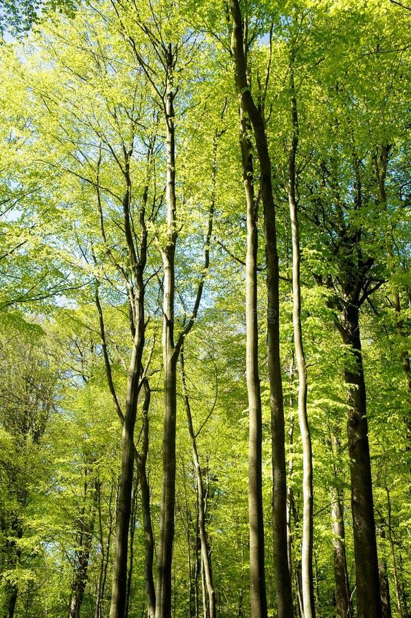 Grüne Bäume im Frühjahr stockbild
