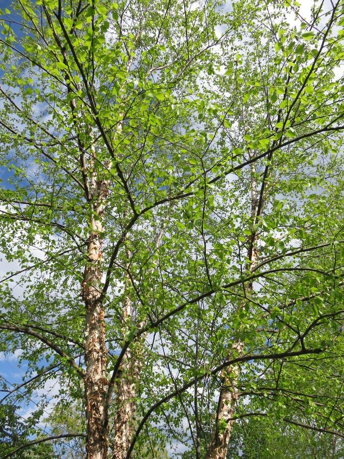 Grüne Bäume im Frühjahr im April lizenzfreie stockfotografie