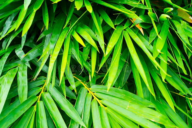 Grüne Bambusblattnahaufnahme lizenzfreies stockfoto
