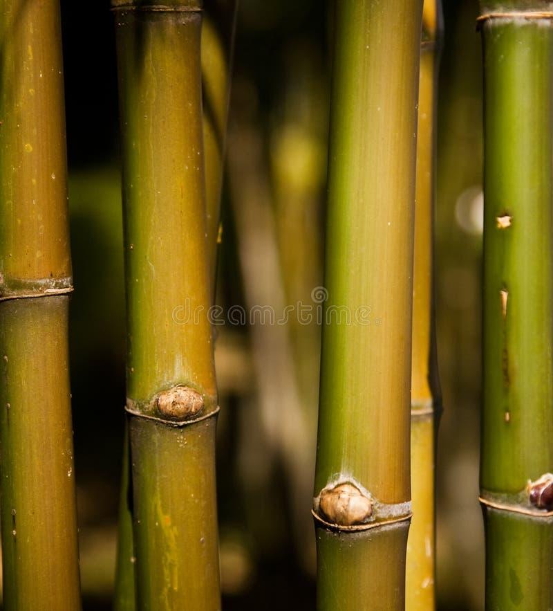 Grüne Bambusstämme lizenzfreie stockfotografie