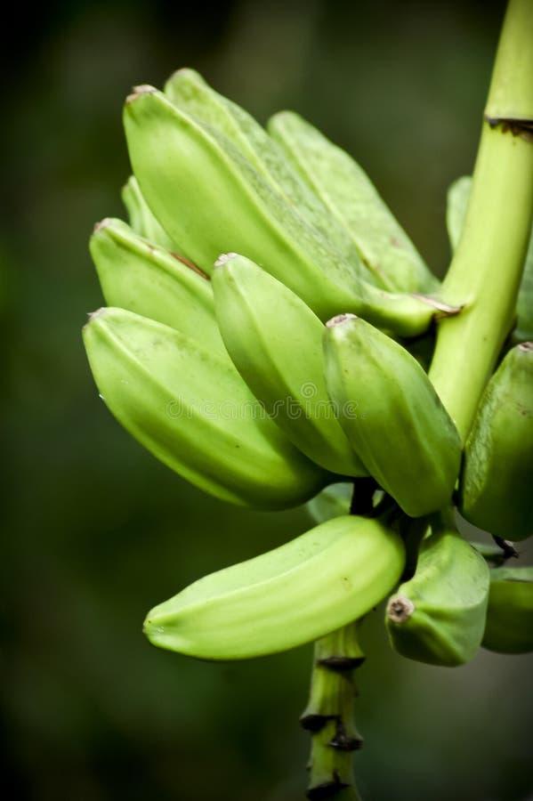 Grüne Bananen, die am Baum hängen lizenzfreie stockbilder