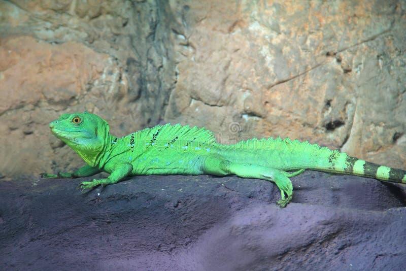 Grüne Basilisk-Eidechse (Basiliscus plumifrons) lizenzfreies stockfoto