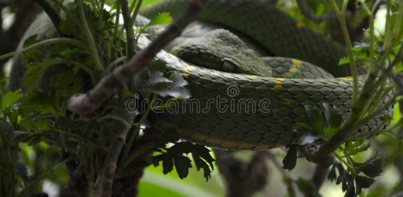 Grüne Baum-Grube-Viper stockfotos
