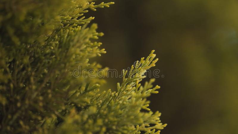 Grüne Baumaste von Kieferngewächsen lizenzfreie stockfotos
