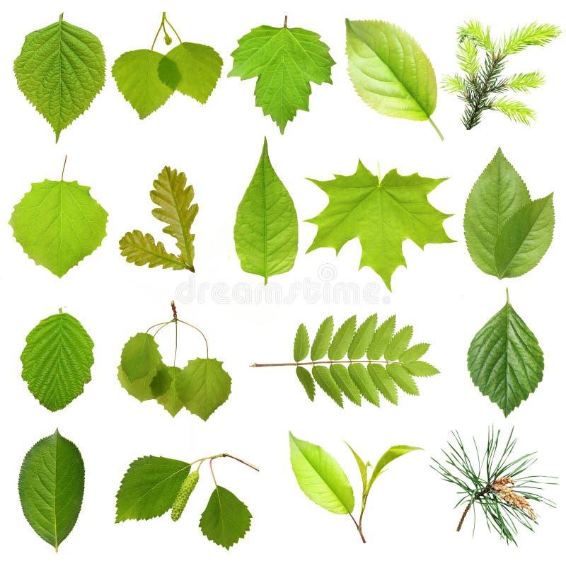 Grüne Baumblätter der Sammlung. stockfotografie