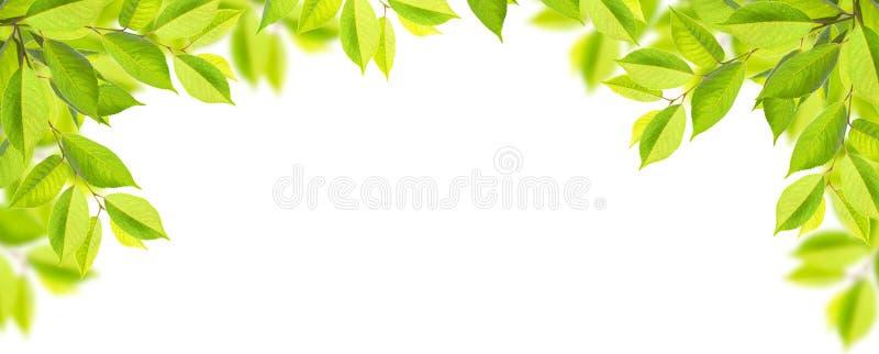 Grüne Baumblätter lokalisiert auf weißem Hintergrund lizenzfreies stockbild