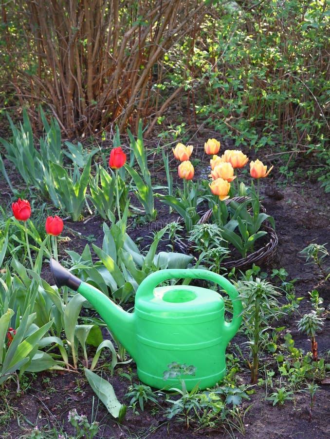 Grüne Bewässerungsblumenbeete mit Tulpen lizenzfreie stockbilder