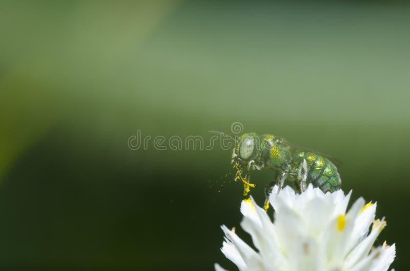 Grüne Biene auf weißer Blume stockbilder