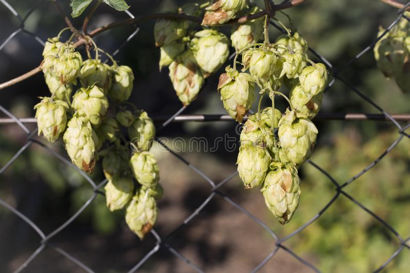 Grüne Bierhops, die auf dem Zaun wachsen stockfotografie
