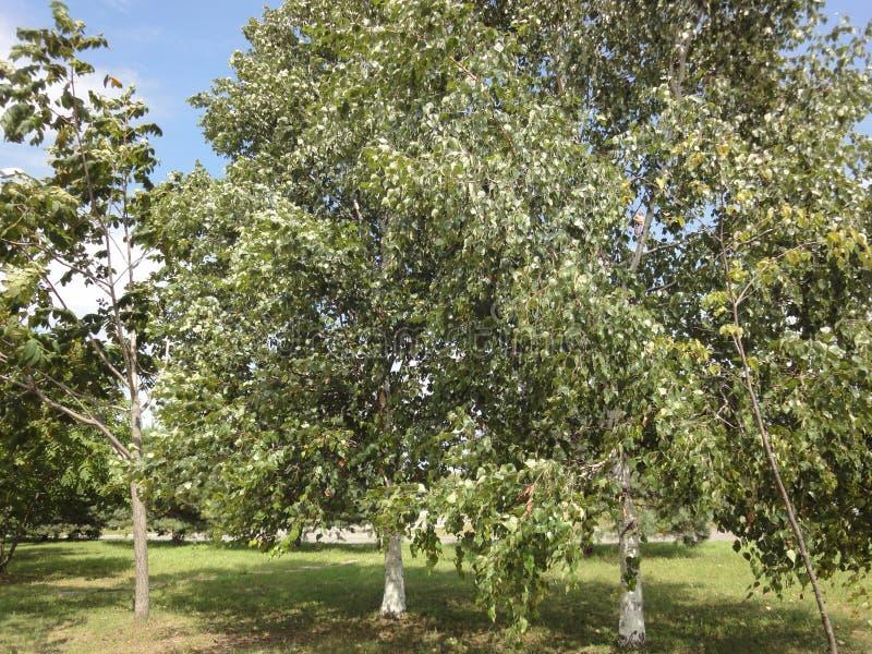 Grüne Birken in einer Waldung/in einem Sommer gestalten mit einer Birkenwaldung/landschaftlich lizenzfreies stockbild