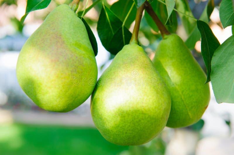 Grüne Birnen stockfoto