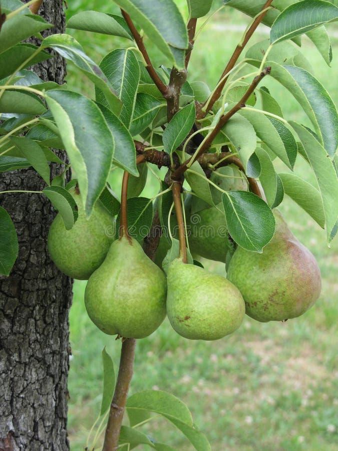 Grüne Birnen, die an einem wachsenden Birnenbaum hängen Toskana, Italien lizenzfreie stockfotografie