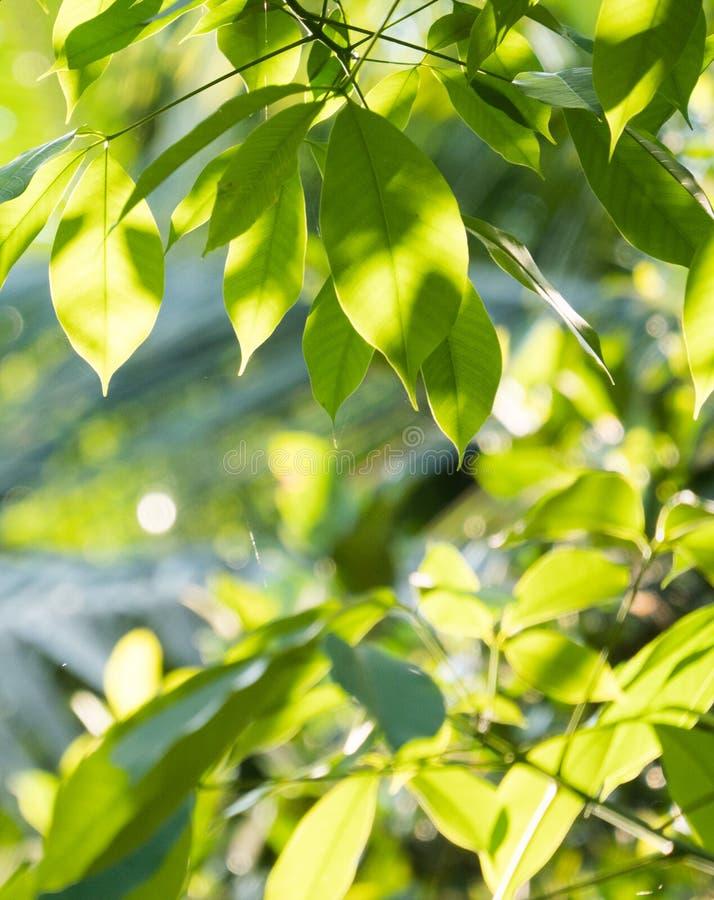 Grüne Blätter in der aufgehenden Sonne stockfoto