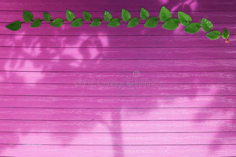 grüne Blätter der Coatbuttons-Naturgrenze und des Schattenbaums auf magentarotem Holz lizenzfreie stockfotos
