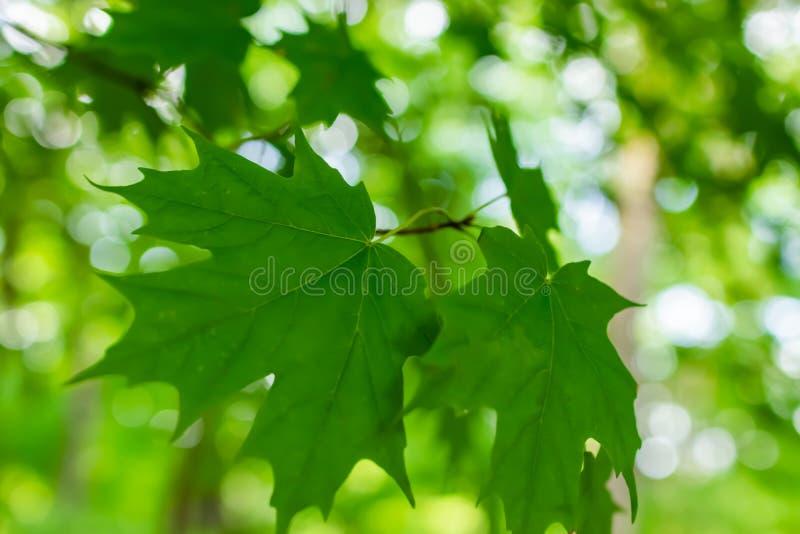 Grüne Blätter in der Sommersonne im Juli 2018 in Michigan-Stadt, Indiana lizenzfreie stockbilder