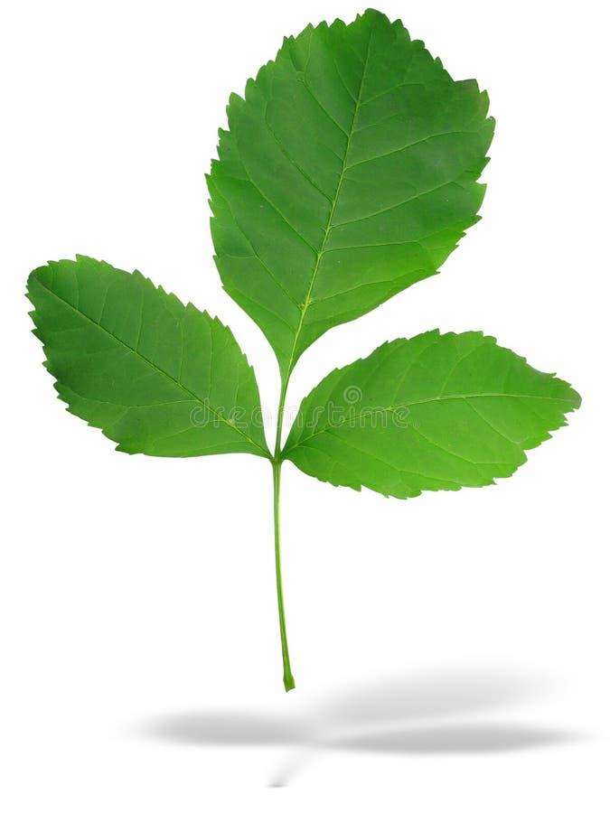 Grüne Blätter des Auszuges drei mit Schatten lizenzfreie abbildung