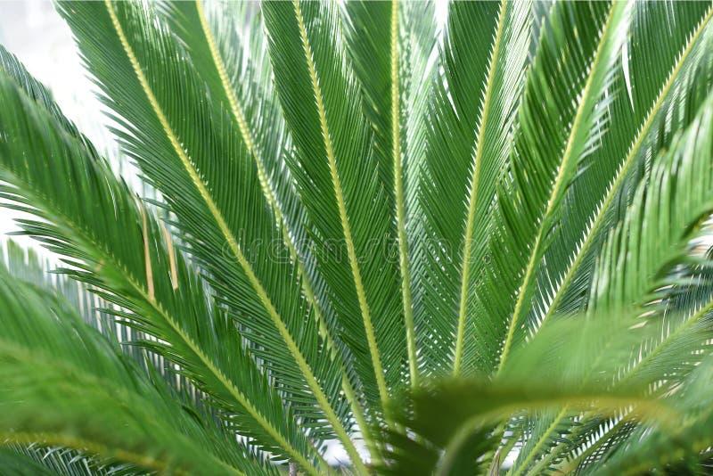 Grüne Blätter einer jungen Palme lizenzfreie stockfotografie