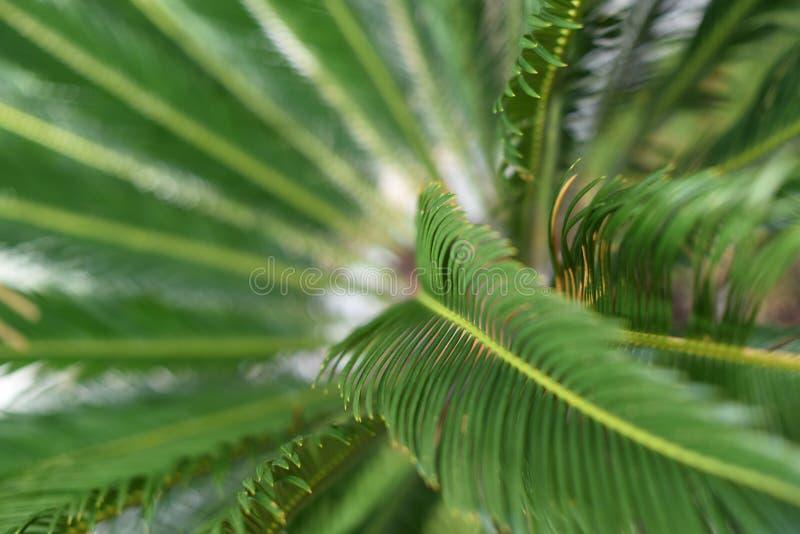 Grüne Blätter einer jungen Palme lizenzfreies stockfoto