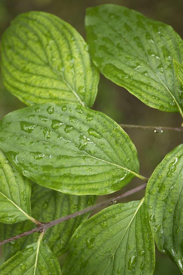 Grüne Blätter mit Wassertropfen, Herbstwetter, Naturhintergrund stockfotografie