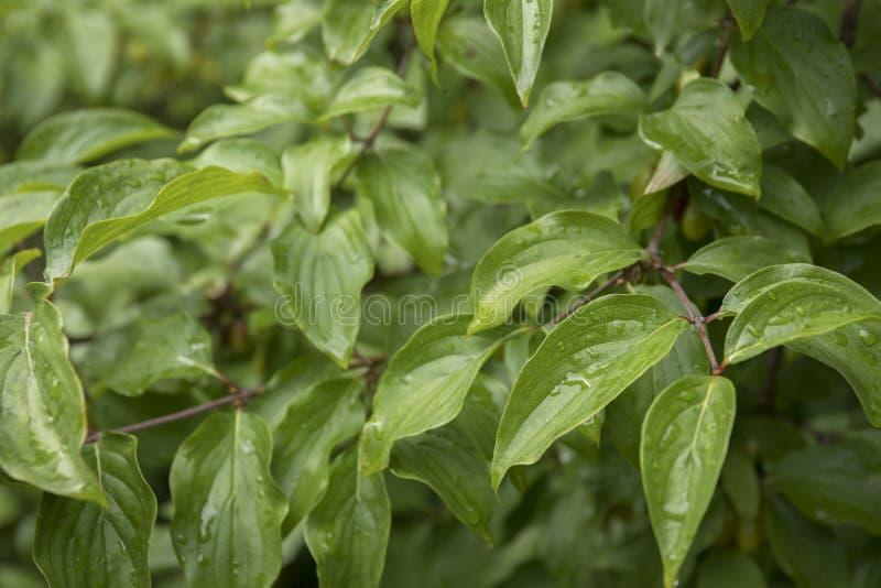 Grüne Blätter mit Wassertropfen, Herbstwetter, Naturhintergrund stockfoto