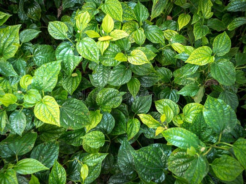 Grüne Blätter sind der Hintergrund 002 stockbild