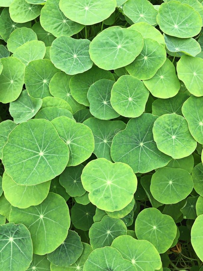 Grüne Blätter von Bäumen für Hintergrund lizenzfreie stockfotografie