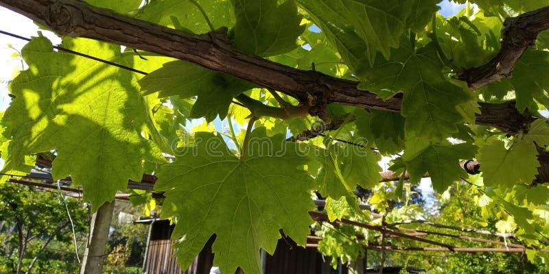 Grüne Blätter von Weintrauben, frisch Die nähe der blühenden Weinreben, die Traubenblüte während des Tages lizenzfreies stockbild