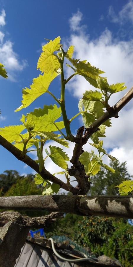 Grüne Blätter von Weintrauben, frisch Die nähe der blühenden Weinreben, die Traubenblüte während des Tages Traubenernte auf Reben stockfotografie