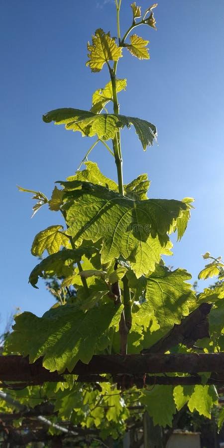 Grüne Blätter von Weintrauben, frisch Die nähe der blühenden Weinreben, die Traubenblüte während des Tages stockfotografie